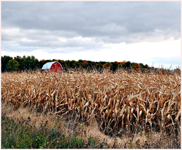 red barn in corn field in autumn
