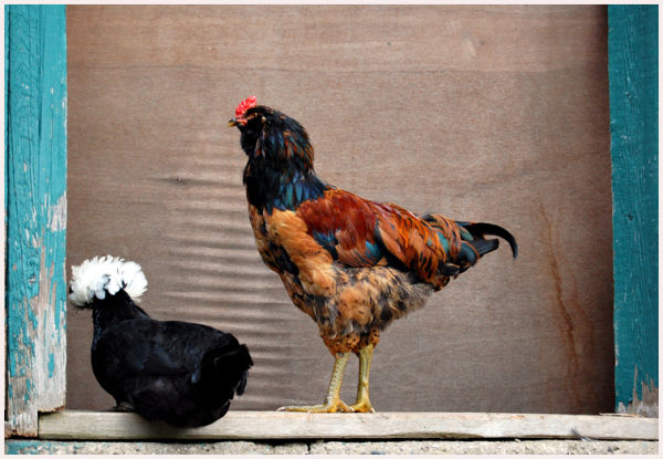 Polish crested hen and Americauna rooster