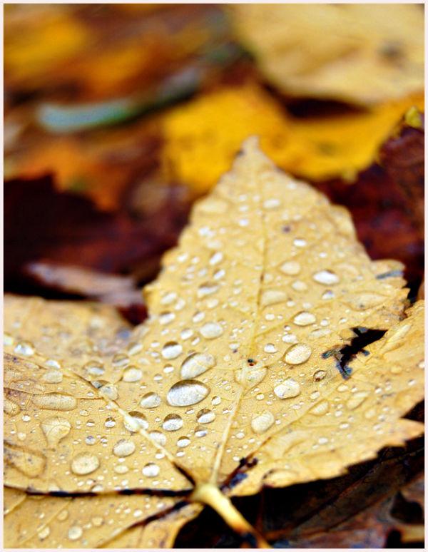 autumn leaf with raindrops