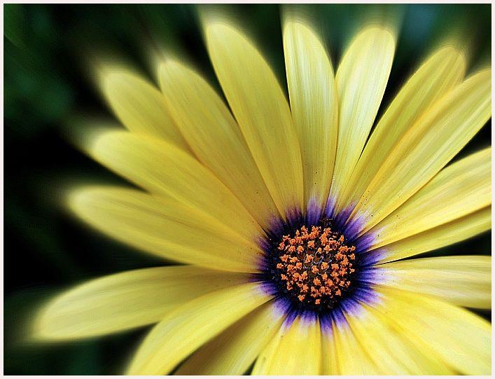 yellow summer daisy