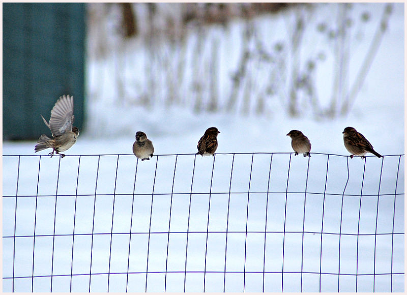 five sparrows sitting on a fence in winter snow