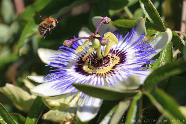 Bee approaching a passion flower