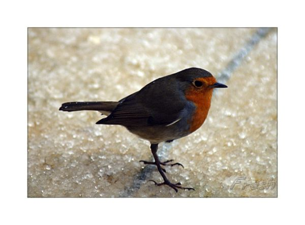 Little Robin