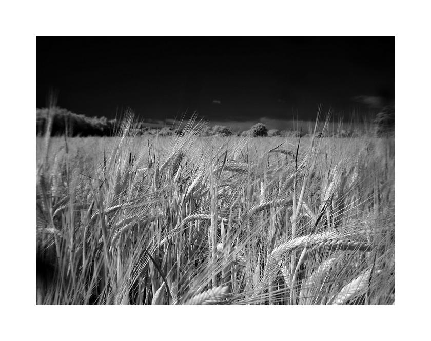 I.R Wheat