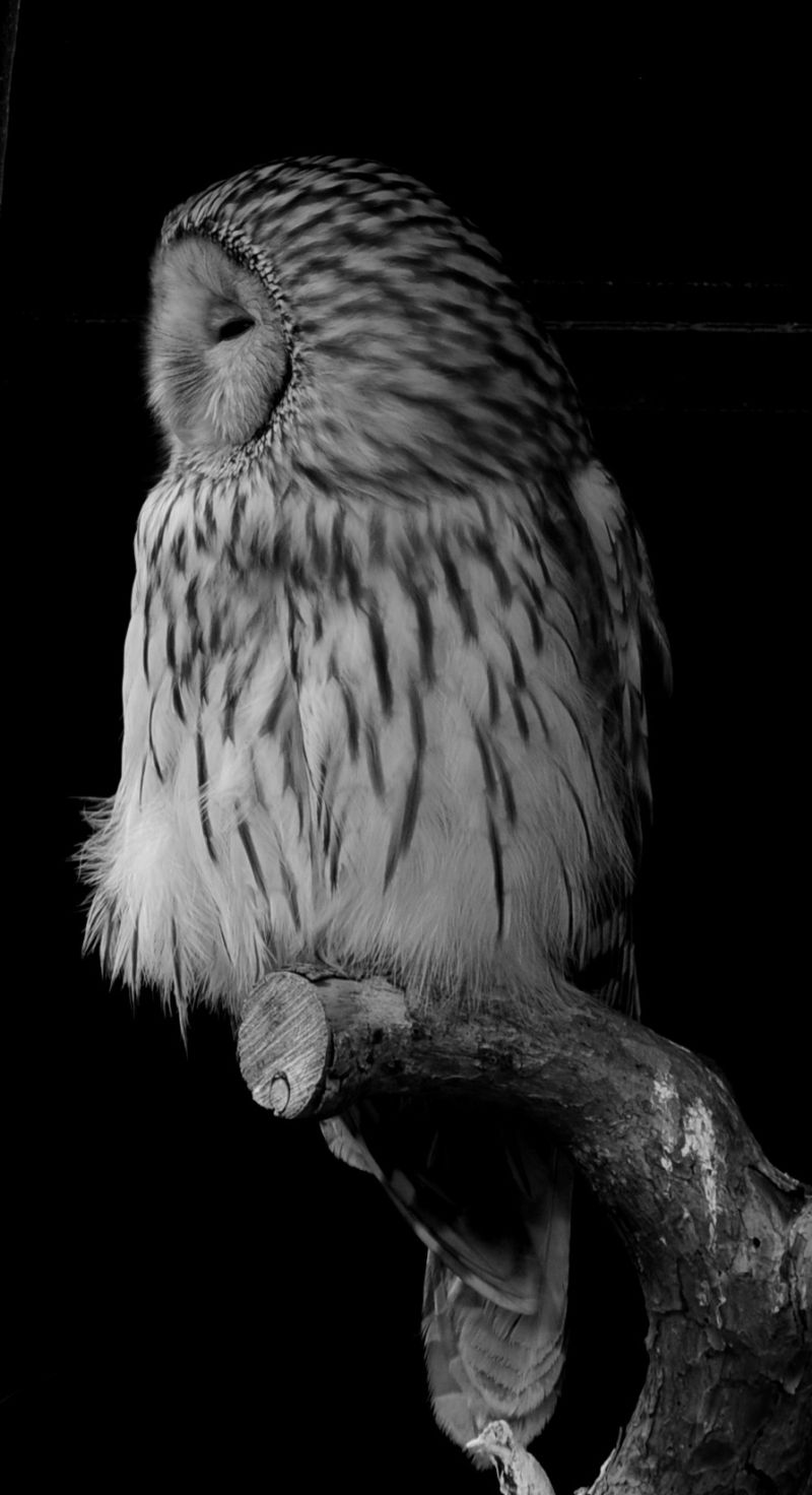 pöllö