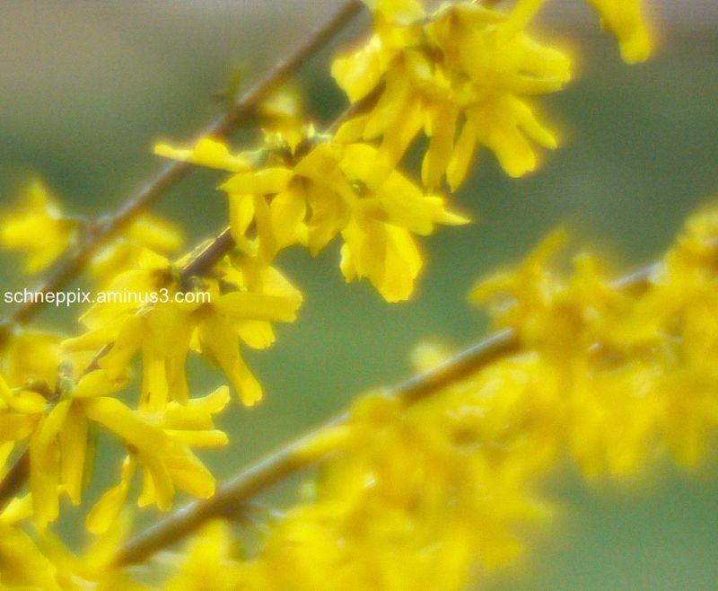 Yellow flowering bush