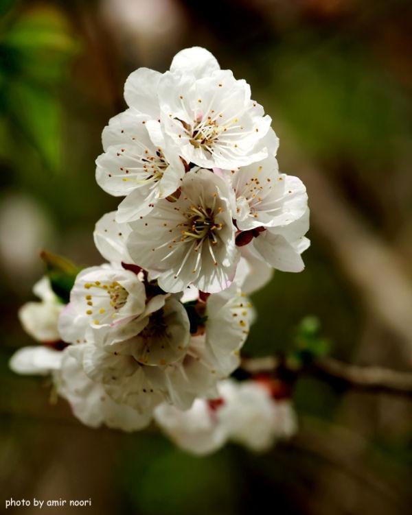 شکوفه درخت زردآلو