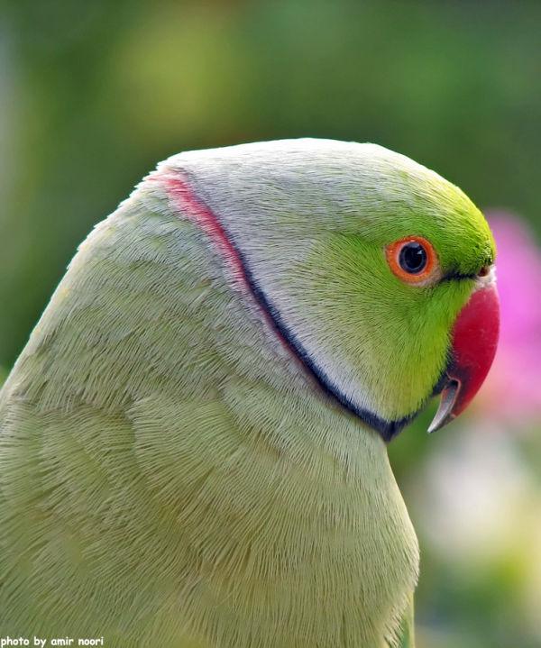 amirnoori parrot