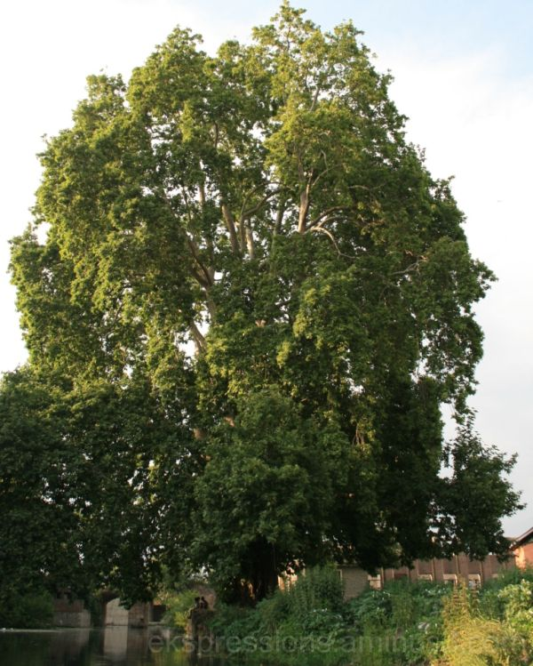 CHINAR TREES FROM KASHMIR