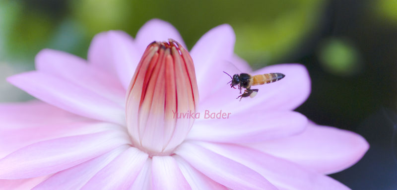 Bee pollinating a lotus