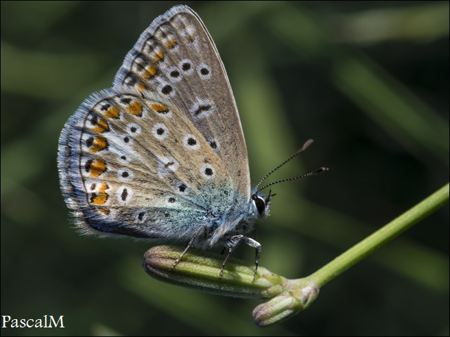 #papillon