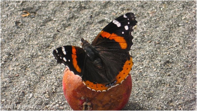 Butterfly on a sirupy apple