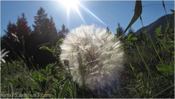 Dandelion in the sun.