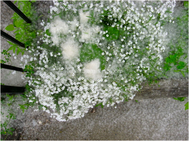 Snow pollen