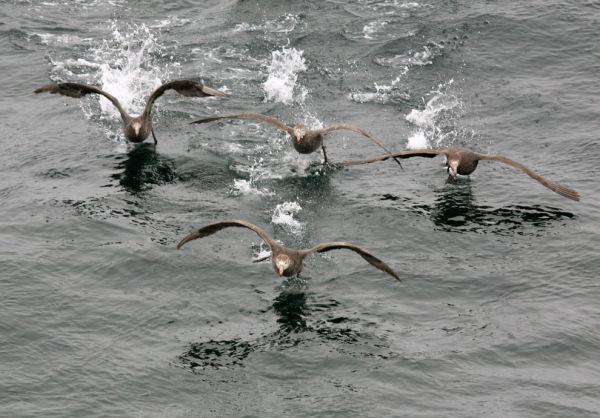 Giant petrels in Ausrtal Ocean