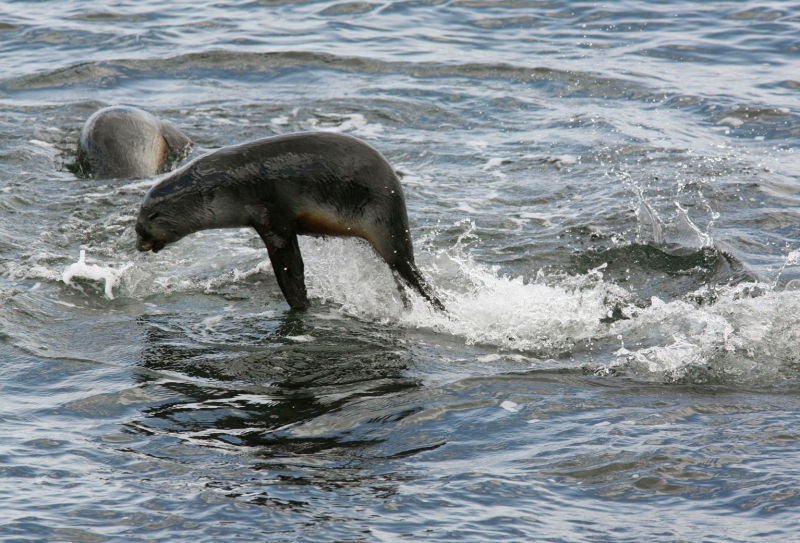 Jumping sea lion