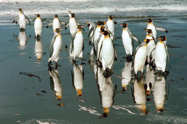 Manchots royaux sur la plage de Ratmanof