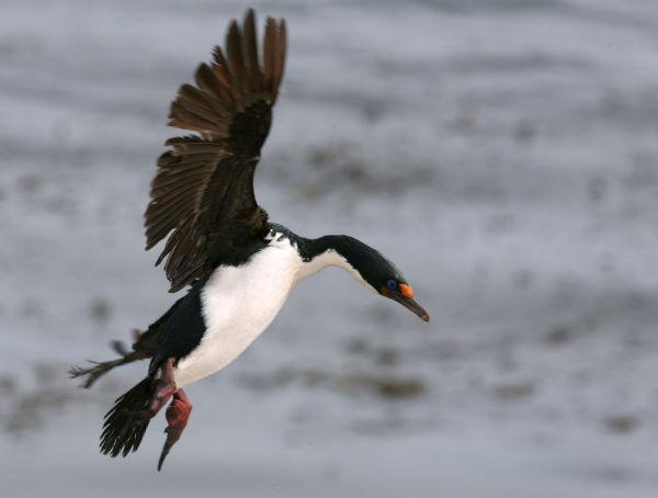 Landing of blue eyes cormoran