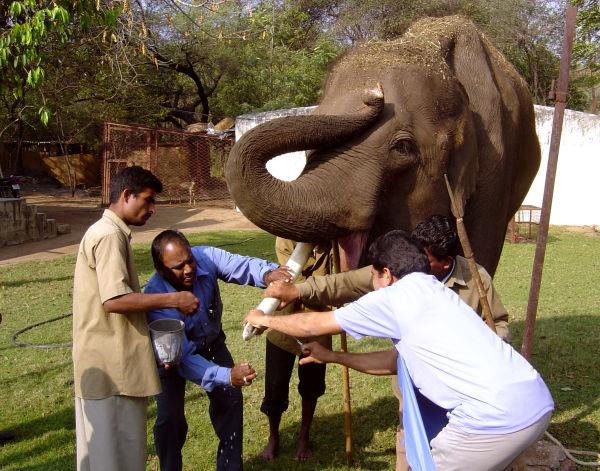Dentisterie sur Elephant