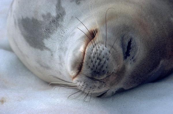 Le repos du phoque de Weddell