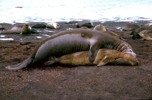 Un couple d'elephants de mer