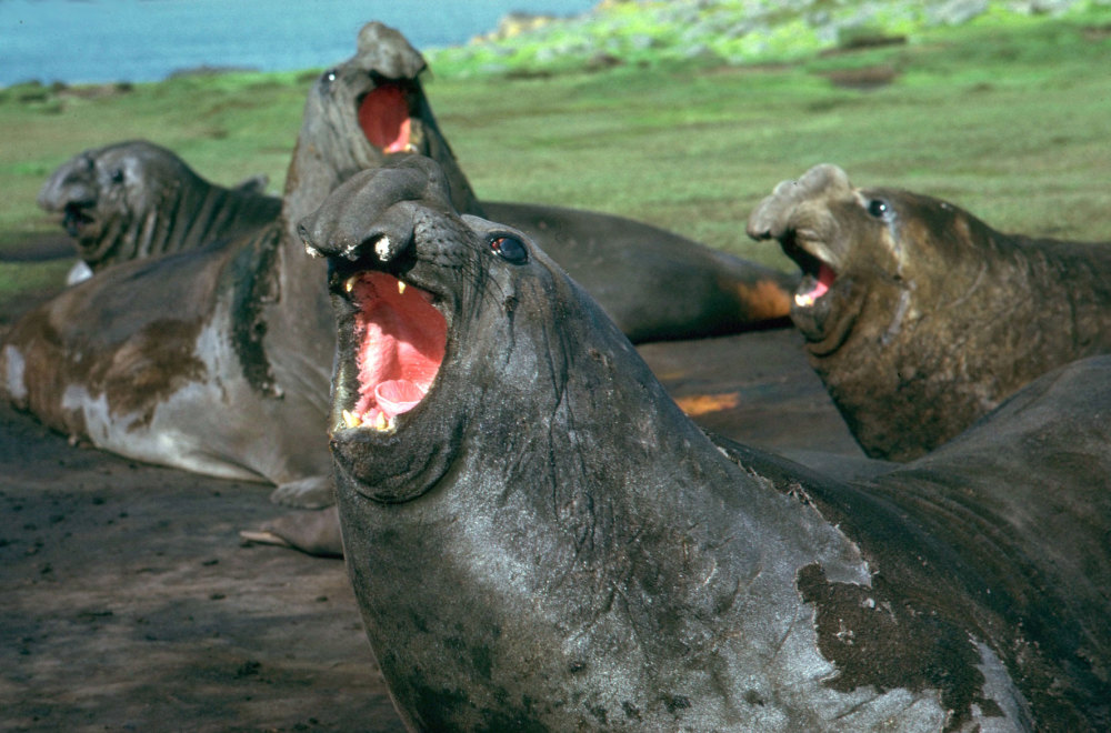 males elephants mer