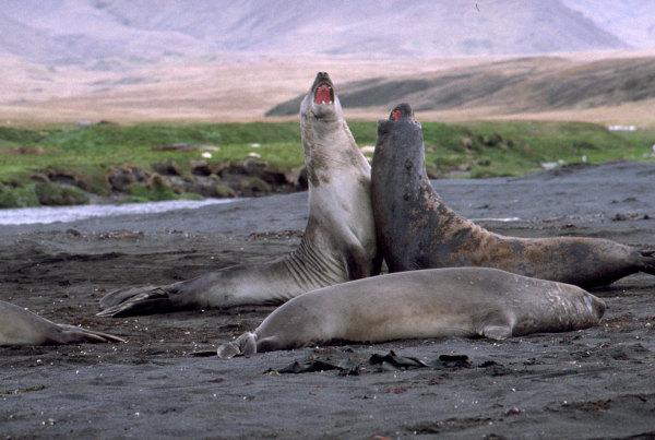 Bataille de males elephants de mer