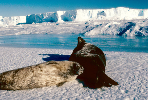 Un jeune phoque de weddell avec sa mère