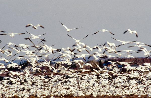 Les oies blanches à la pointe aux pères