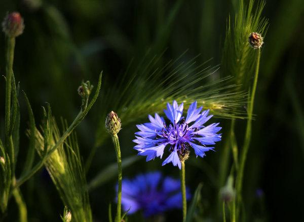 Un bleuet des prairies catalanes