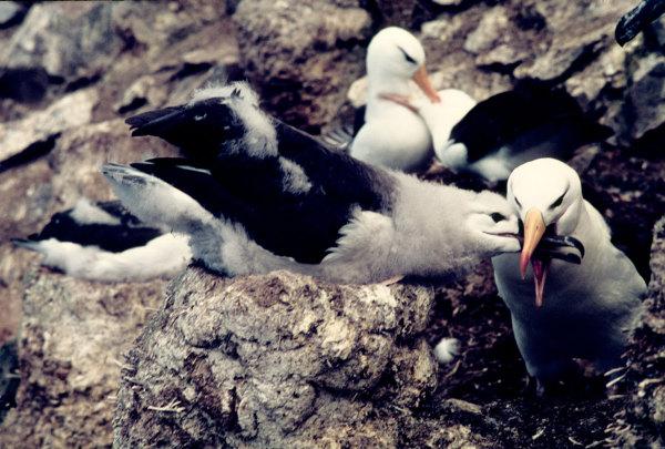 Un albatros à sourcils noirs et son poussin