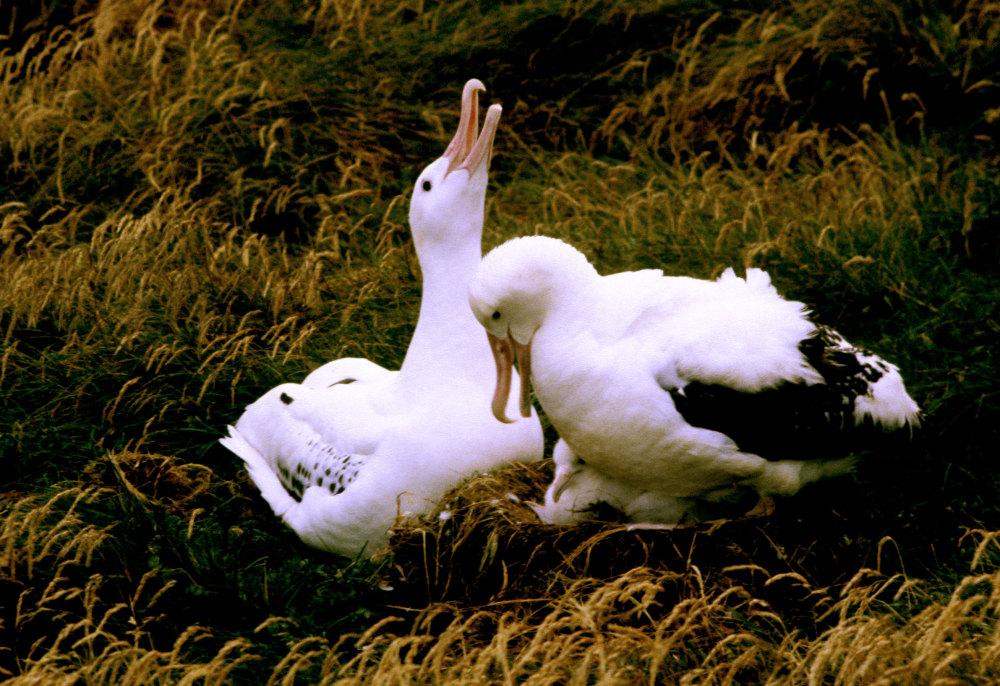 Un couple d'albatros hurleurs avec leur poussin