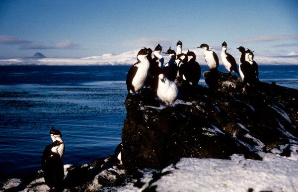 Cormorans des Kerguelen