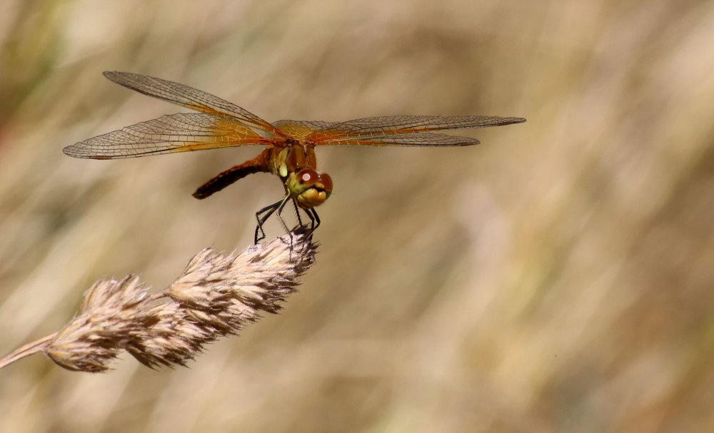 Une libellule au bord du lac De Matemale