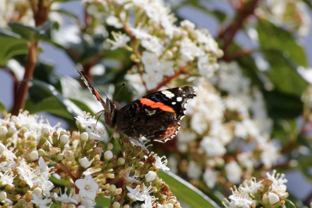 Un papillon de mon jardin