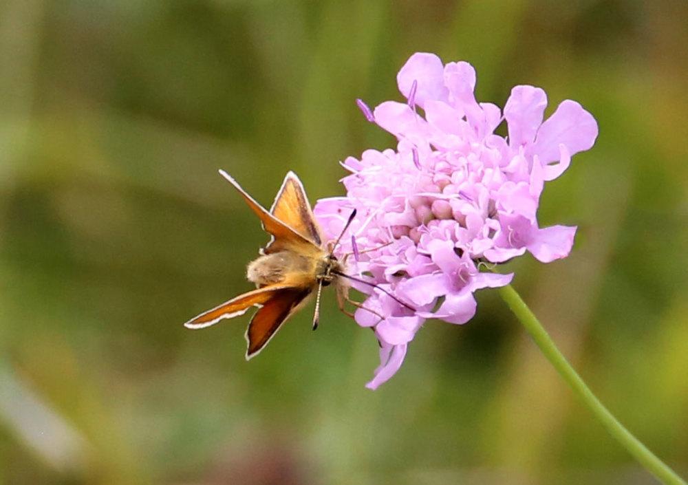 Un papillon du Capcir