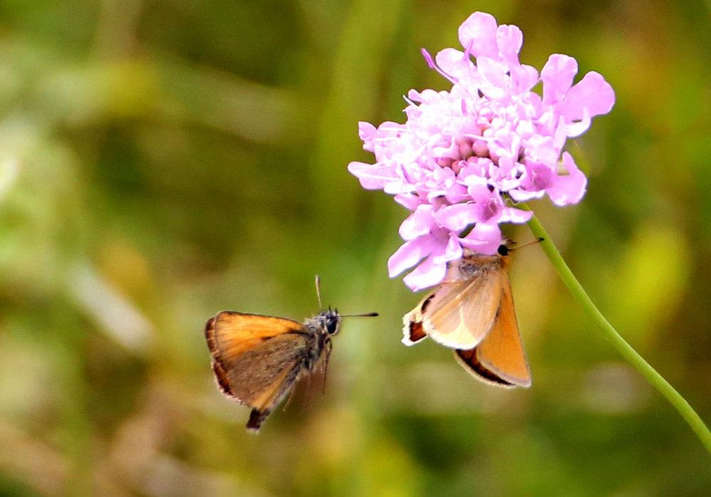 Papillons du Capcir