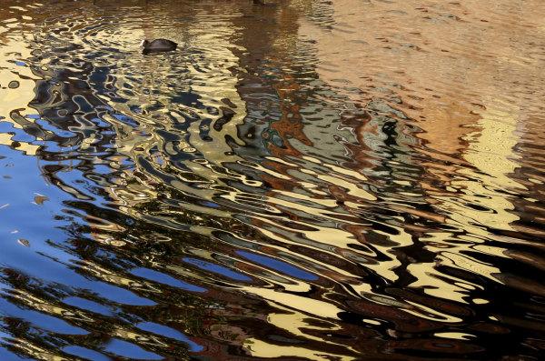 Une poule d'eau sur le canal de la Bruche