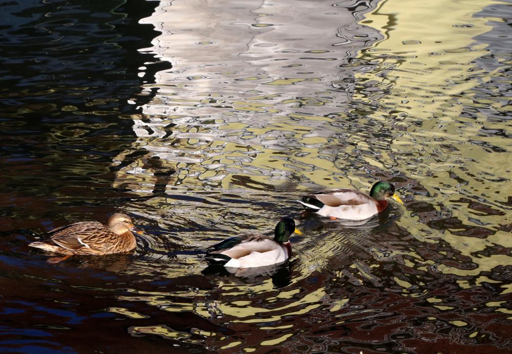 Des canards sur le canal de la Bruche