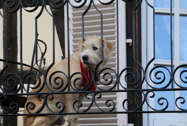 Un chien sur son balcon alsacien