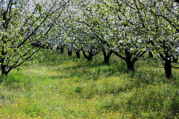 Les cerisiers de Ceret