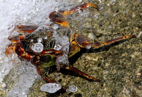 Un crabe du lagon de Raiatea