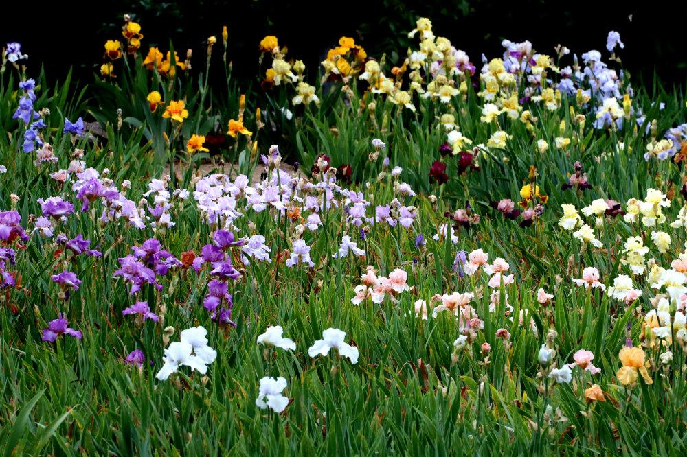 Le jardin d'Iris de l'abbaye St Michel de Cuxa