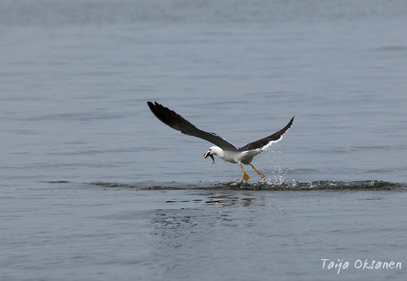 Gull catch the fish