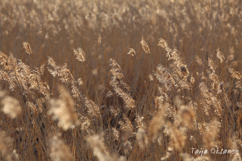 Common reeds in the sun