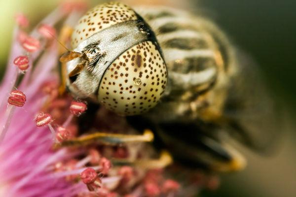 Big eye insect