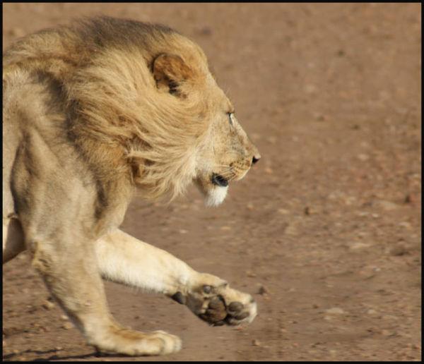 Lion running in masai mara