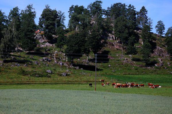 Cows on a field in Sweden