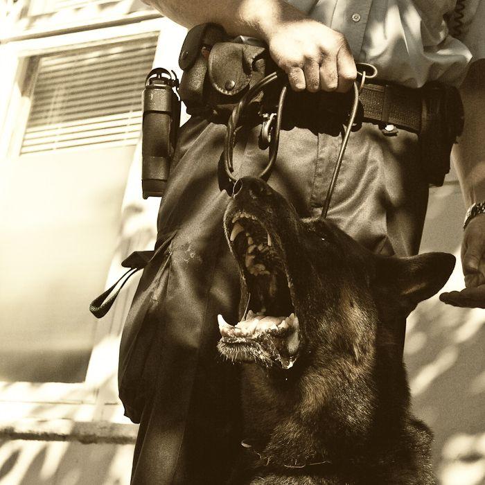 Zigzag - a police dog