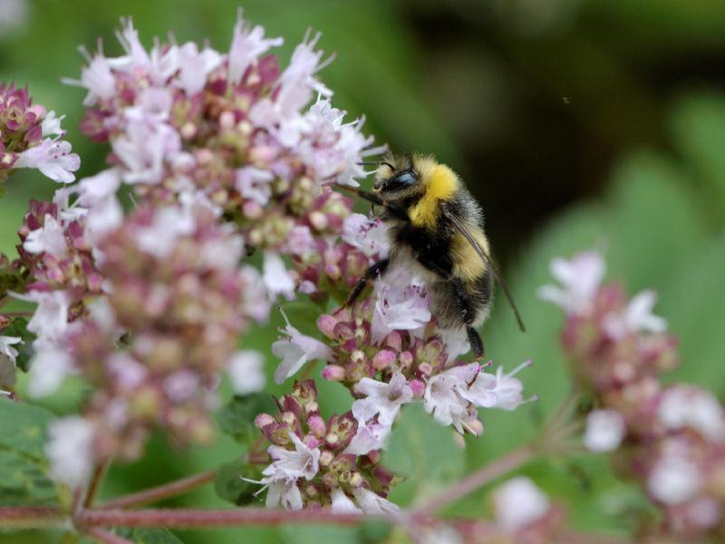 Bumble bee on basilic flowers